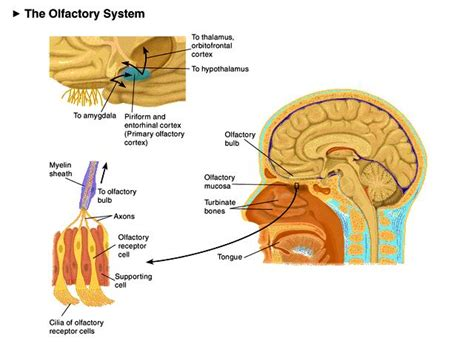 olfactory pathway diagram threading and profiles