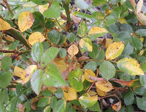 reasons  rose leaves turning yellow yellow leaves