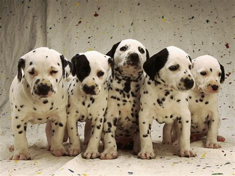 puppy dalmatian 50 dalmatian puppy pictures and photos