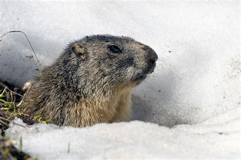 groundhog day origin 10 facts about the history of groundhog day