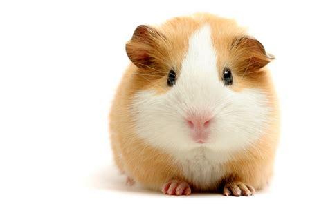 guinea pig lifethroughmy4eyes