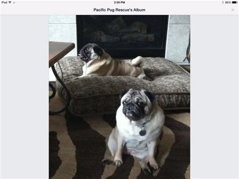 pug beans bean and hurley a of senior cuties available at pacific pug rescue pugs