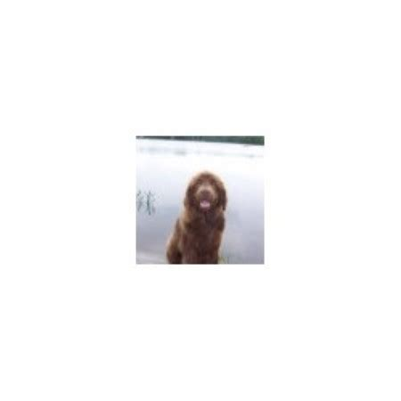 newfoundland puppies michigan dyer lake akers farm newfoundland breeder in falmouth michigan