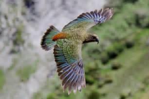 arthur s pass kea nestor notabilis