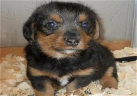 cheris preferred puppies cheri s preferred puppies butler county oh