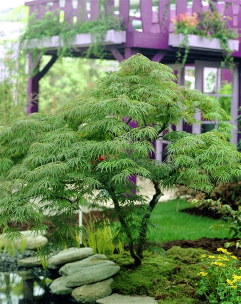 Garten Schlitz by Schlitz Ahorn Acer Palmatum Var Dissectum Pflanzen
