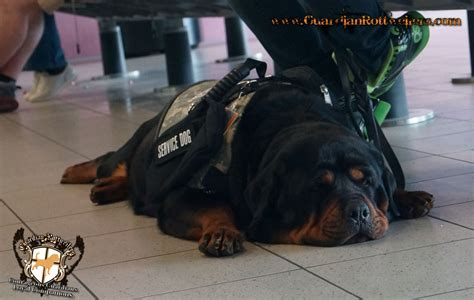 rottweiler service with breeder from guardian rottweilers