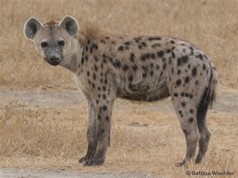 images of hyenas hyena project