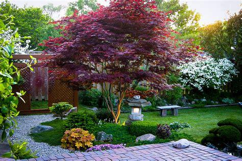 japanese maple bloodgood trees live goods