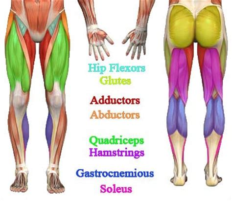 muscles in buttocks diagram best legs and exercises to build the lower