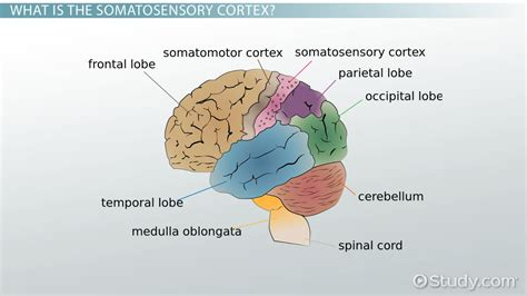 primary motor cortex function and location somatosensory cortex definition location function