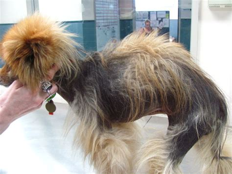 hair loss in pomeranian dogs alopecia x in dogs hair cycle arrest