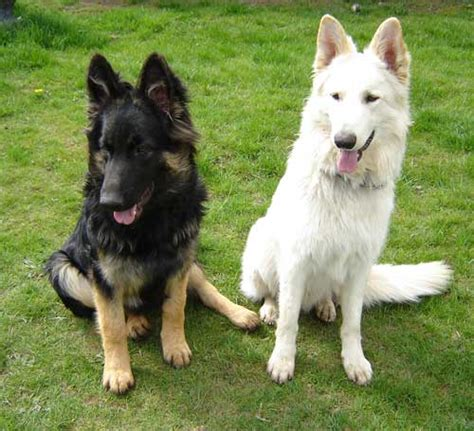 black and white german shepherd 45 beautiful white german shepherd pictures and images