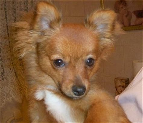 pomeranian vs terrier pom silk breed information and pictures