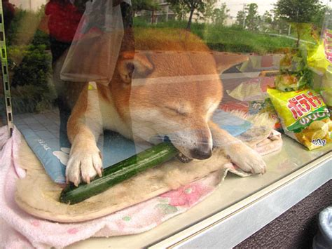 dogs eat cucumbers this stumbled upon a store in japan with the cutest store clerk he couldn t