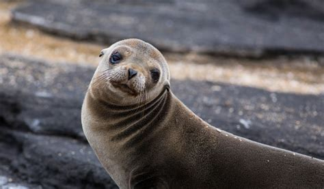 Sea Ls by Galapagos Fur Seals Facts Diet Habitat Information