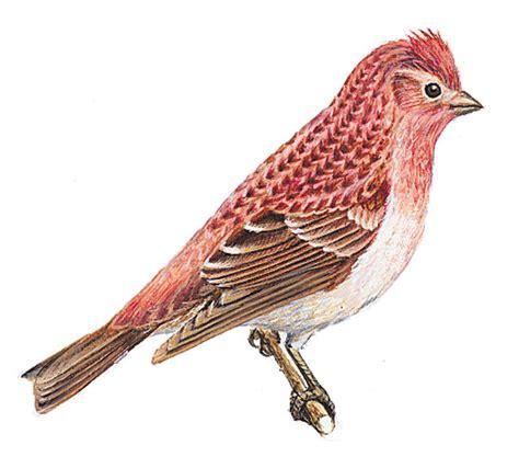 new hshire state bird kids britannica kids