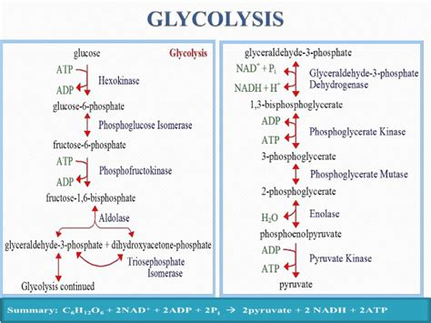 carbohydrates and glucose carbohydrates to glucose pathway ketogenicdietpdf