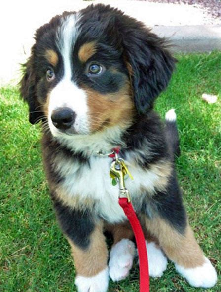 rescue puppies in pa bernese mountain rescue ma pet photos gallery jjx3mvyblr