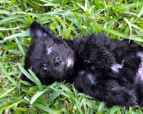 patterdale cross shih tzu pin papi poo and breeders dogs for sale on