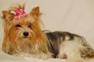 how do yorkies mate chov plemene golddust golddust a biewer terrier canis minor