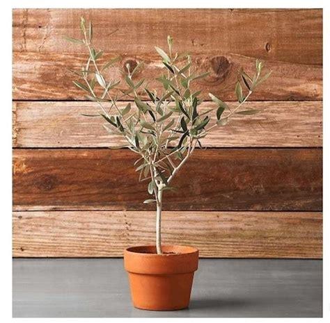 giardino in vaso ulivo in vaso piante per giardino coltivare ulivo in vaso