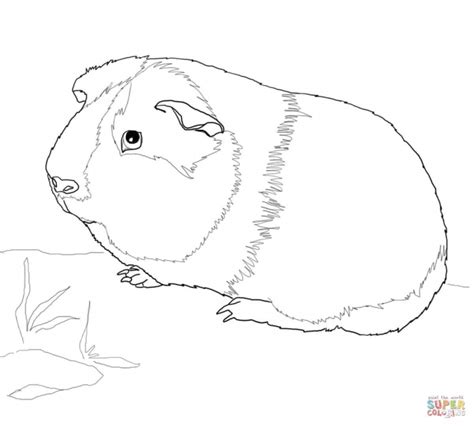 guinea pigs online splash page coloring pages of guinea pigs coloring pages kids collection