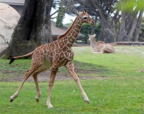 imagenes de jirafas bebés jirafas beb 233 s taringa