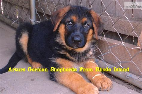 puppies ri german shepherd puppy for sale near rhode island 6fd90773 9251