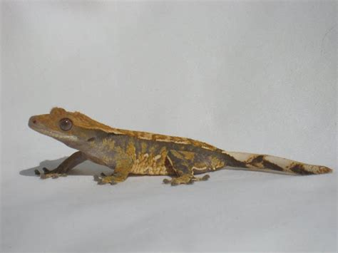 crested gecko colors tricolor crested geckos tri color project