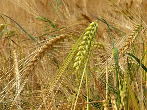 Free photo: Barley, Cereals, Field, Spike   Free Image on Pixabay   502370