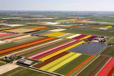 netherlands tulip fields field holland tulips netherlands tulip