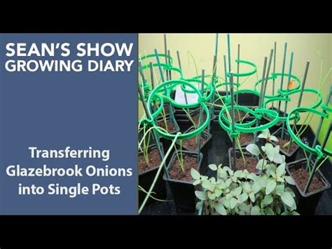 Seans Diary by S Show Growing Diary Transferring Seedlings