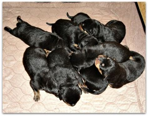 rottweiler rescue near me rottie puppies how in world do you choose
