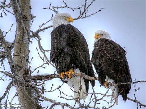 bald eagle cam watch decorah eaglets grow up live the