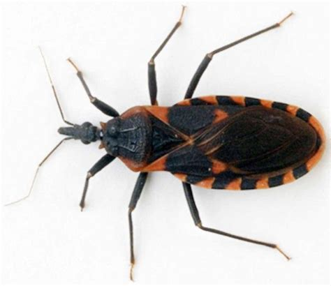 can bed bugs carry diseases 17 best images about destroy them on pinterest sports