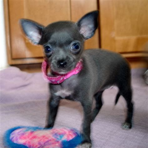 chihuahua puppies oregon blue teacup chihuahua blue teacup chihuahua puppies for sale in oregon we are an