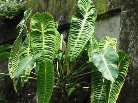 Flower Rubiah harga anthurium di indonesia tertinggi di dunia