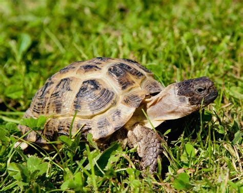 pet varieties types of pet tortoises how to take care of a turtle