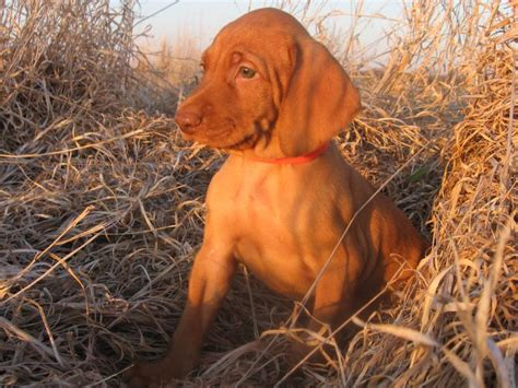 vizsla puppies oregon puppies for sale vizsla dogs in our photo