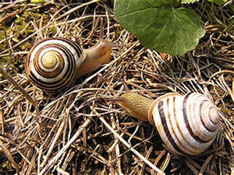 types of garden snails banded snails cepaea held 1838