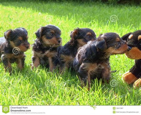 how to litter a yorkie puppy terrier puppies royalty free stock photography image 18411987
