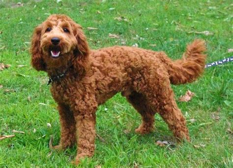 doodle romp indianapolis australian labradoodle studs ashford manor labradoodles