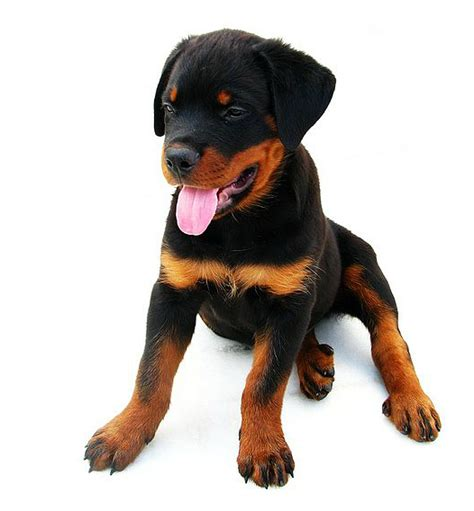 rottweiler direct rottweiler caract 232 re 233 ducation et conseils lebernard