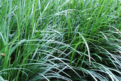 mondo grass ophiopogon japonicus evergreen growers