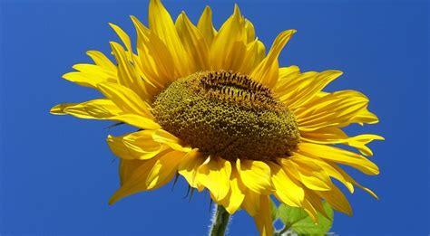 girasole fiore significato girasole significato fiore greenstyle