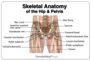 Anatomy of the hip and upper leg skeletal anatomy of the hip and