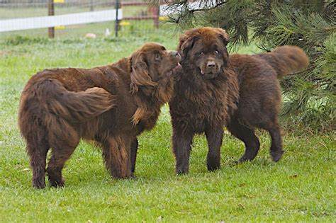 pictures of newfoundland puppies brown newfoundland