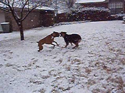 boxer vs rottweiler rottweiler vs boxer black vs white doovi