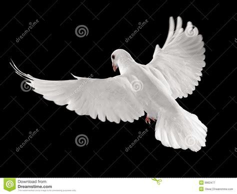 imagenes de palomas blancas en vuelo paloma en vuelo fotograf 237 a de archivo libre de regal 237 as